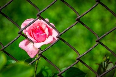 rose-3458142_640