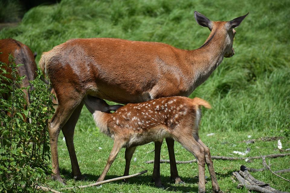 roe-deer-1482723_960_720
